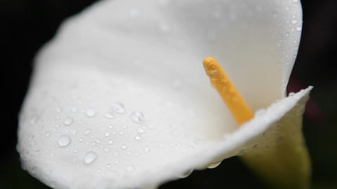 The inside detail of a calla lily comes into view Stock Video Footage