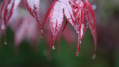 Red leaves are catching drops of water during a rainfall Stock Video Footage