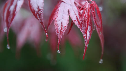 Red leaves are catching drops of water during a rainfall Footage
