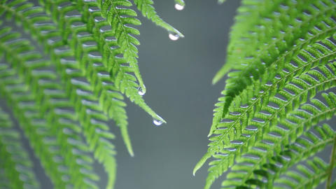 Water droplets collect on fern leaves in the rain Stock Video Footage