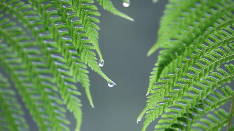 Water droplets collect on fern leaves in the rain Footage