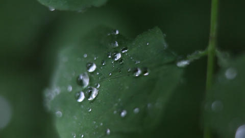 Raindrops adhere to a leaf Footage