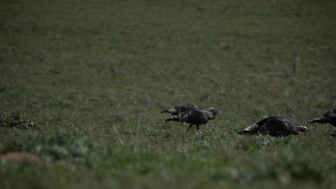 A group of turkeys walk across a grassy field Stock Video Footage