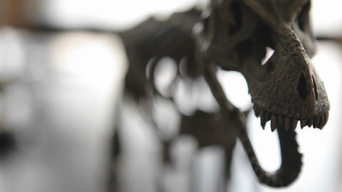 Dinosaur Skeleton In A Museum stock footage