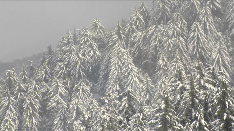 Snow falls on a pine covered hillside Stock Video Footage