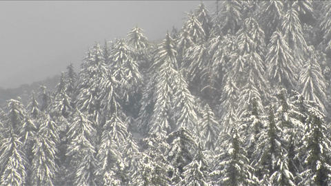 Snow falls on a pine covered hillside Footage