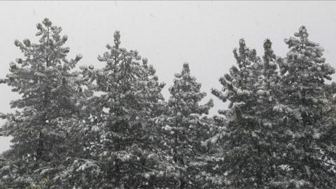 Snow falls amidst a stand of pine trees Footage