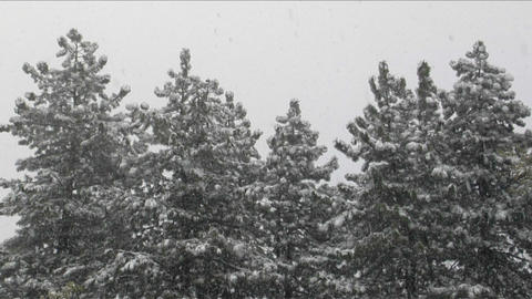 Snow falls amidst a stand of pine trees Stock Video Footage