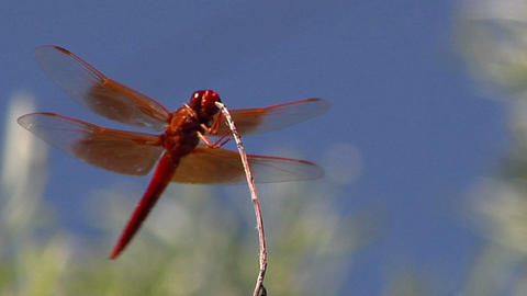 A red dragonfly hovers near a twig then flies away Footage