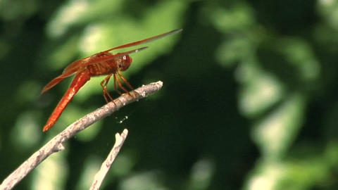 A dragonfly sits on a twig Footage