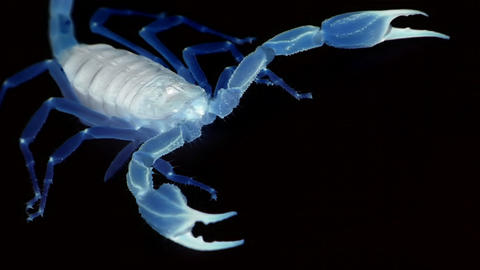 A blue translucent scorpion stands poised and marches out... Stock Video Footage