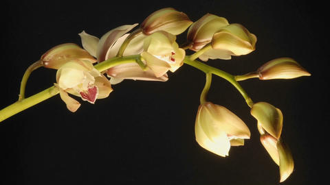Extended time lapse of a cymbidium orchid flowers blooming in a studio Footage