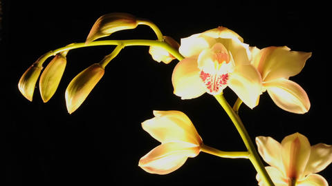 Extended time lapse of cymbidium orchid flowers blooming in a studio Footage