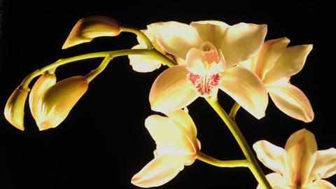 Extended time lapse of cymbidium orchid flowers blooming... Stock Video Footage