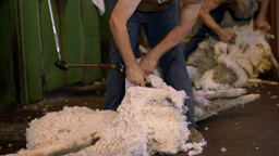 Shearers Shearing Sheep on an Australian Farm Stock Video Footage