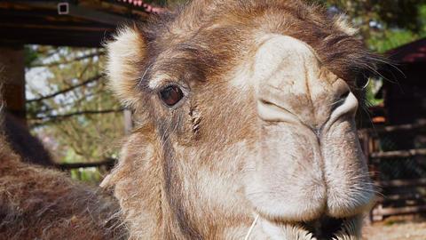 Camel Closeup Footage