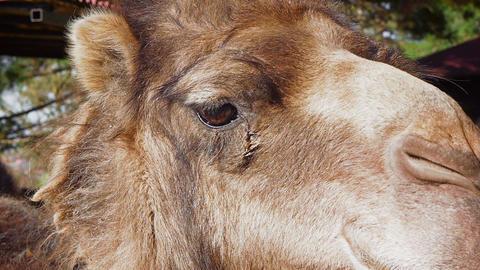 Camel Closeup Stock Video Footage