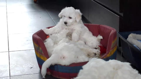 Bichon Frise Puppies Stock Video Footage