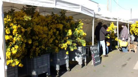 Mimosa Stock Video Footage