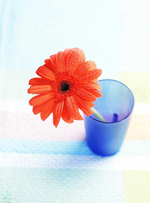 Daisy flower in drinking glass 사진