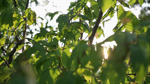 The sun's rays make their way through the dense foliage. Sun glare at sunset Live Action