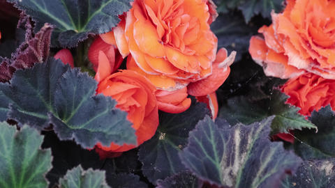 Beautiful vibrant orange Japanese Camellia flowers. Close-up of blooming flowers in flower bed Live Action