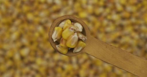 Corn grains in a spoon. Refocusing from a spoonful of grain to a pile of grain Live Action
