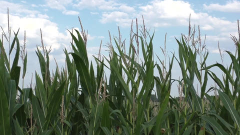 Green corn field in the summer sun Footage