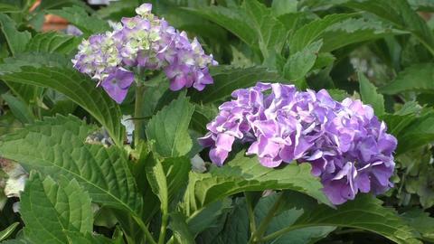 Purple hydrangea plant in the wild Live Action