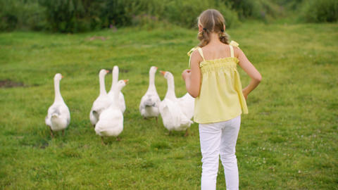 Back view of girl chasing white geese in countryside Live Action