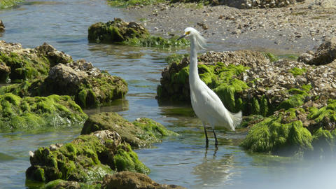 Snowy Egret Wades Through Water and Steps on Rock, 4K Footage
