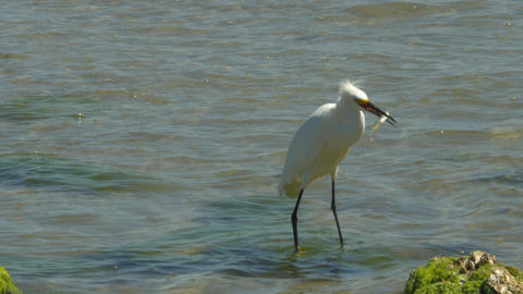 Snowy Egret Wades Through Shallows Catching Fish, 4K Footage
