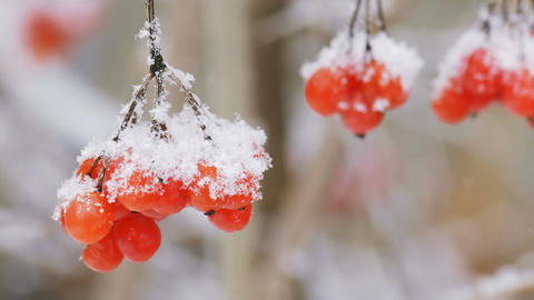 Bunch of viburnum berries covered with snow in the foreground Footage