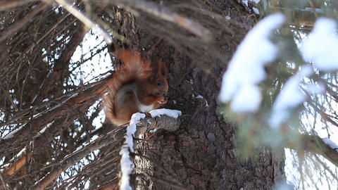 Red squirrel eating pine tree seeds in winter Footage