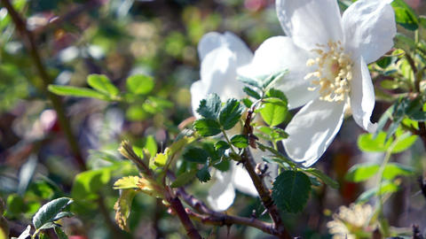 White wild flower wild rose strongly sways in the wind. Kyrgyzstan Live Action