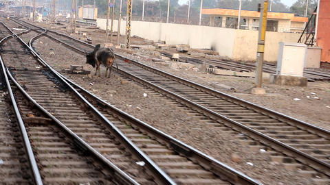 Indian Railways. Cow wanders in front of train Live Action