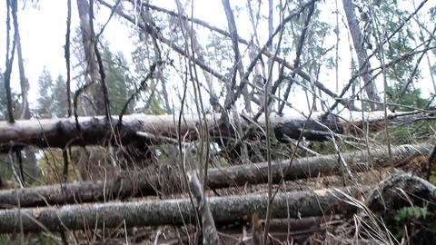 Walking in primeval forest 1 Live Action