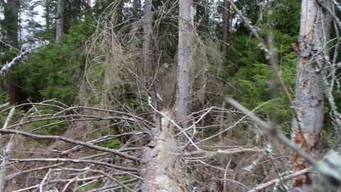 Walking in primeval forest 4 Live Action