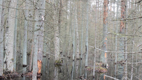 Death of old forest 3. Beavers flooded old spruce forest Live Action