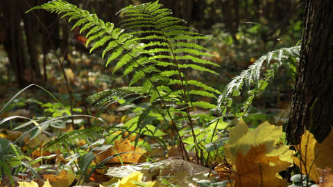 fern in autumn forest Stock Video Footage