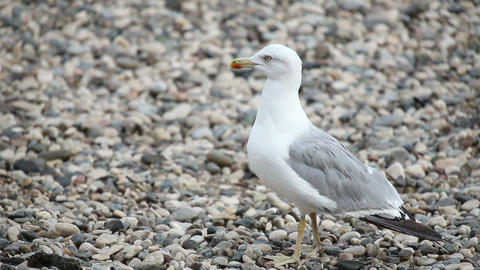 Wondering seagull on rocky stones beach Stock Video Footage