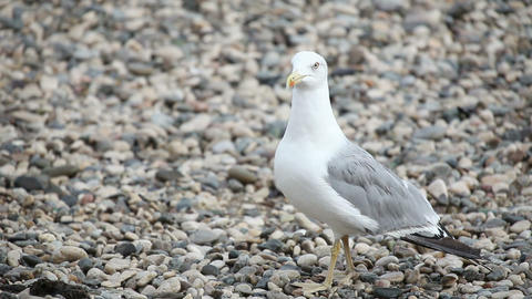 Wondering seagull on rocky stones beach Footage