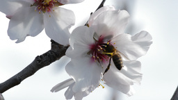 Bee in almond blossoms Footage
