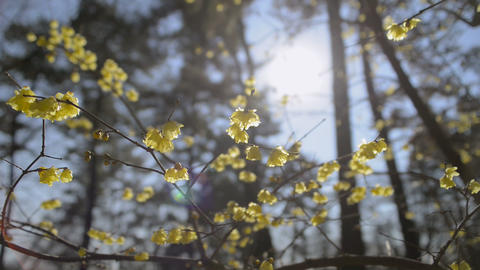 Flowers of Wintersweet,in Koganei Park,Tokyo,Japan Stock Video Footage