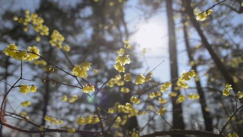 Flowers of Wintersweet,in Koganei Park,Tokyo,Japan Stock Video Footage