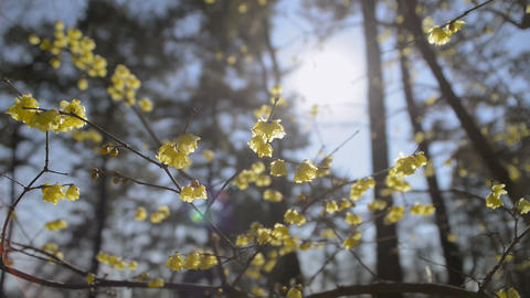 Flowers Of Wintersweet,in Koganei Park,Tokyo,Japan stock footage