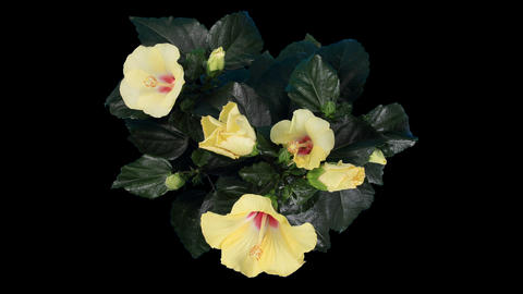 Blooming yellow Hibiscus flower buds ALPHA matte, (Hibiscus) (Time Lapse) Footage