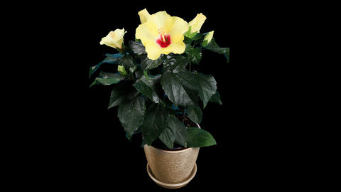 Blooming yellow Hibiscus flower buds ALPHA matte,... Stock Video Footage