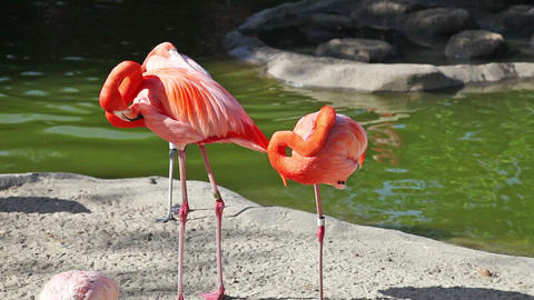 Pink flamingo cleaning feathers in zoo Footage