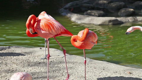 Pink flamingo cleaning feathers in zoo Stock Video Footage